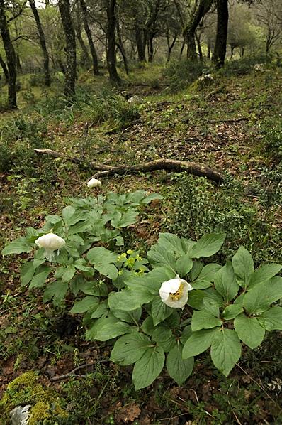 Pion, Paeonia sp.