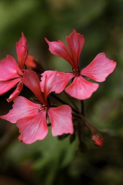 Pelargon, pelargonium