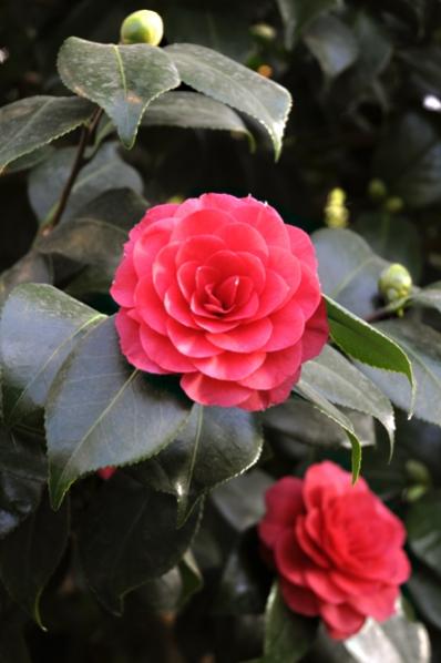 Kamelia, Camellia japonica