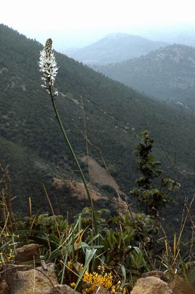 Vit afodill, Asphodelus albus