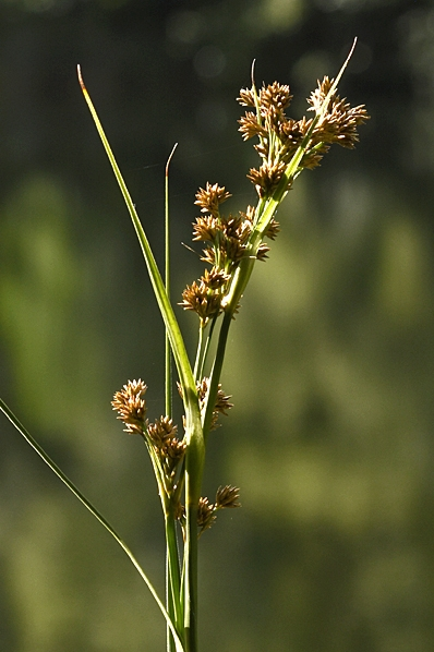 Ag, Cladium mariscus