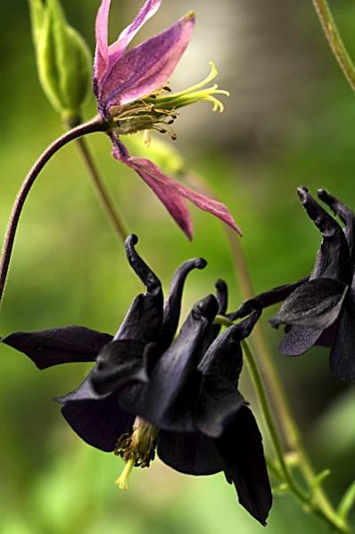 Akleja, Aklejor, Aquilegia vulgaris