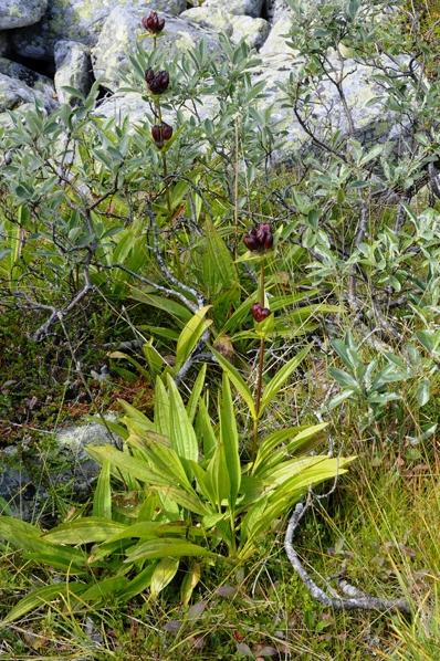 Baggsöta, Gentiana purpurea