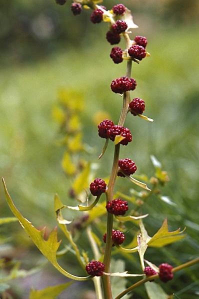 Bärmålla, Chenopodium foliosum, Blitum virgatum