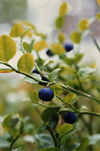 Blåbär, Vaccinium myrtillus