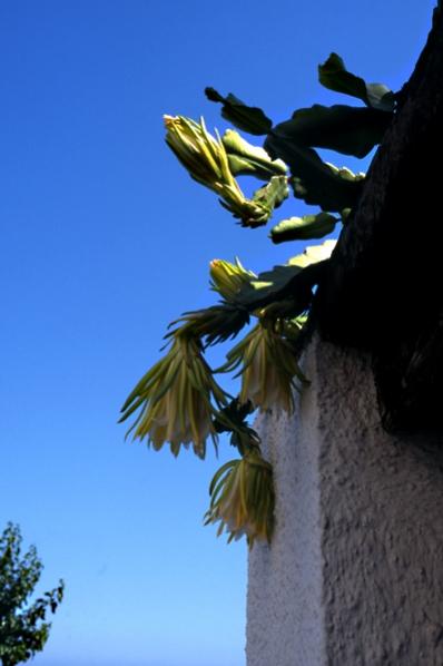 Bladkaktus, Epiphyllum