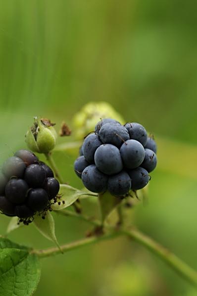 Blåhallon, Rubus caesius, Salmbär