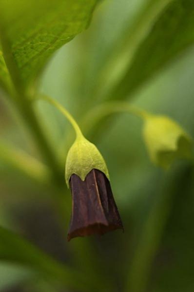 Dårört, Scopolia carniolica