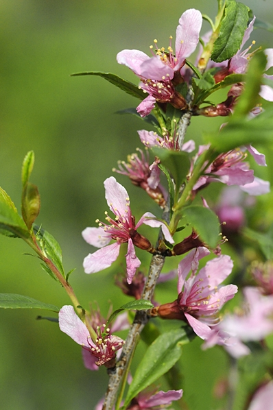 Dvärgmandel, Prunus tenella, Mandelbuske