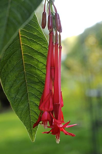Boliviafuchsia, Fuchsia boliviana, Fuchsia corymbiflora