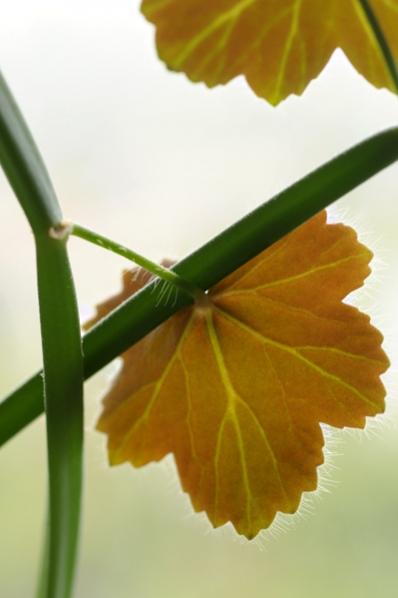Fyrkantspelargon, Pelargonium tetragonum