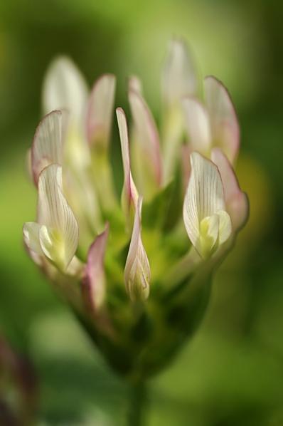 Härmklöver, Trifolium nigrescens ssp. nigrescens, klöver
