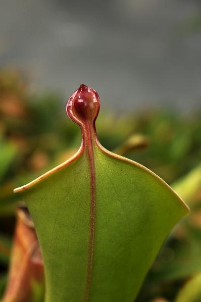 Heliamphora nutans, flugtrumpet