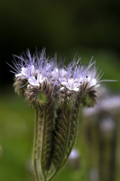Honungsfacelia, Phacelia tanacetifolia