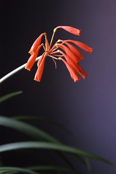 Hottentottlilja, Cyrtanthus brachyscyphus