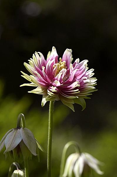 Akleja 'Nora Barlow', Aquilegia vulgaris