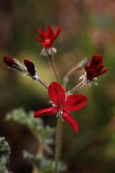 Pelargon, Pelargonium x schotti