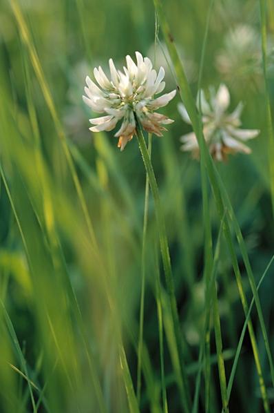 Vitklöver, Trifolium repens