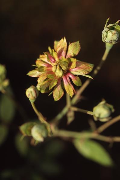 Ros, 'Viridiflora', Rosa chinensis