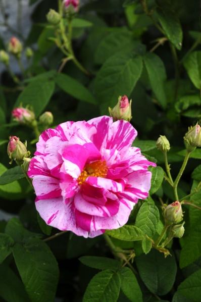 Ros 'Rosa Mundi'