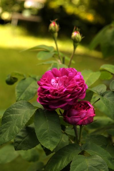 Ros 'Rose de Rescht'