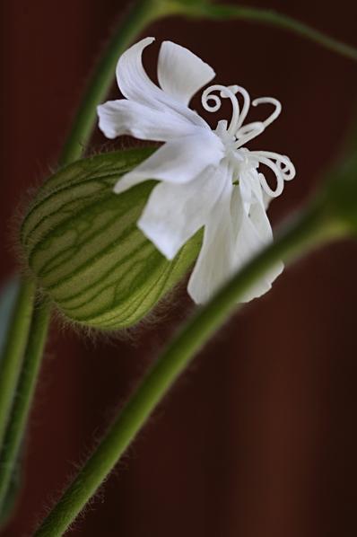 Vitblära, Silene latifolia ssp. alba