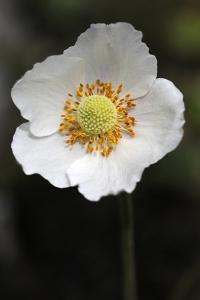 Tovsippa, Anemone sylvestris