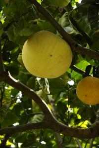 Pomelo, Citrus maxima, Citrus grandis, Pompelmus