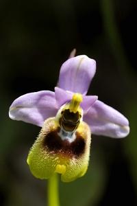 Praktofrys, Ophrys tenthredinifera, Prakt-ofrys,