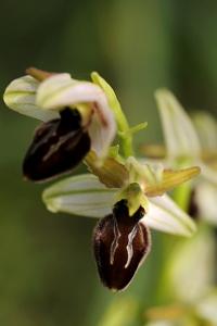 Spindelofrys, Ophrys sphegodes, Spindel-ofrys