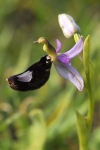 Toffelofrys, Ophrys bertolonii, ofrys