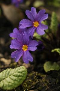 Violviva 'Wanda', Primula x pruhoniciana