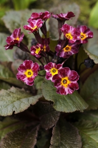 Trädgårdsviva 'Dark Rosaleen', Primula x polyantha, Primula elatior