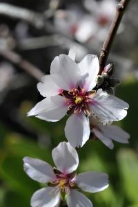 Mandel, Prunus dulcis, mandelträd mandelblomma