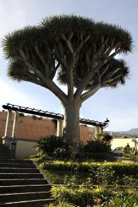 Drakblodsträd, Dracaena draco, Orotava, Teneriffa