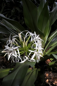 Strandkrinum, Crinum asiaticum