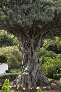 Drakblodsträd, Dracaena draco, Icod, Teneriffa