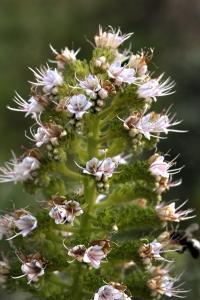 Echium, Echium virescens