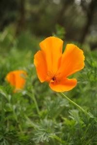 Kalifornisk vallmo, Eschscholzia californica, Sömntuta