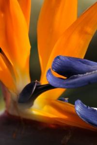 Papegojblomma, Strelitzia reginae