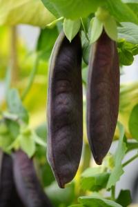 Sockerärt 'Shiraz', Pisum sativum