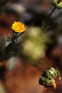 Åkerringblomma, Calendula arvensis