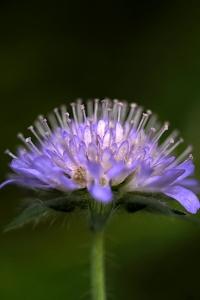 Åkervädd, Knautia arvensis
