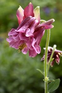Akleja, Aquilegia vulgaris