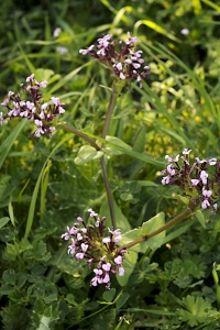 Algersallat, Fedia cornucopiae