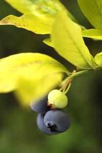 Amerikanska blåbär, Vaccinium