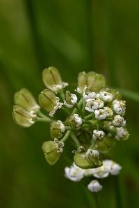 Backskärvfrö, Thiaspi caerulescens