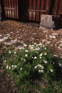 Baldersbrå, Tripleurospermum inodorum, Tripleurospermum perforatum