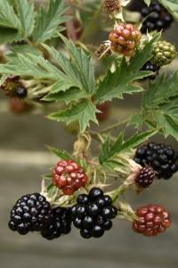 Flikbjörnbär, Rubus laciniatus, björnbär