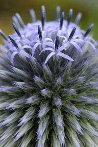Blå bolltistel, Echinops bannaticus